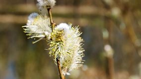 The sprouts on the branches of a willow. Spring awakening of the nature stock video