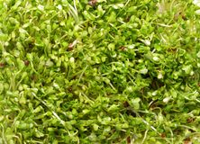 Sprouts brancos do radish Foto de Stock