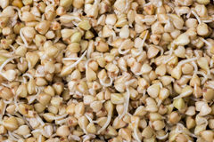 Sprouts of buckwheat groats as  background Royalty Free Stock Image