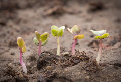 Sprouts Royalty Free Stock Photography