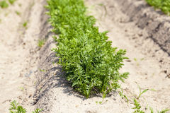 Sprouts carrots. field Royalty Free Stock Images