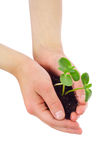 Sprouts in child's hands Royalty Free Stock Photography
