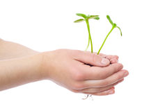 Sprouts in child's hands Stock Photo
