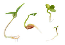 Sprouts collection Stock Image