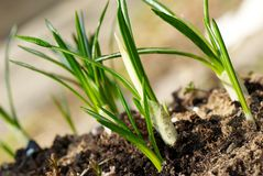 Sprouts of crocus in early spring. Freash green sprouts of crocus in early spring Stock Image
