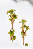 Sprouts of currant in snowdrift stock photos