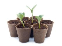 Sprouts da abóbora Fotografia de Stock