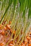 Sprouts da grão Fotos de Stock Royalty Free
