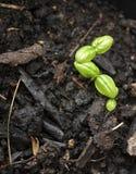 Sprouts da manjericão Imagens de Stock
