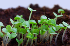 Sprouts da mola Fotografia de Stock Royalty Free