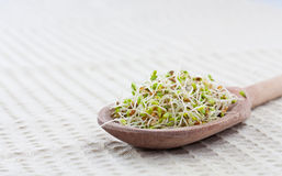 Sprouts da mostarda Fotos de Stock Royalty Free