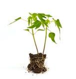 Sprouts da papaia Imagem de Stock Royalty Free