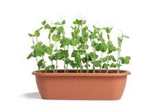 Sprouts das ervilhas Foto de Stock Royalty Free