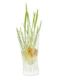 Sprouts das grões em um vidro Fotografia de Stock Royalty Free