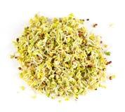 Sprouts de alfalfa Imagem de Stock