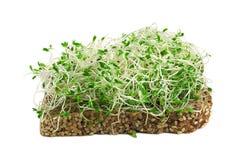 Sprouts de alfalfa Imagens de Stock Royalty Free