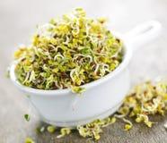 Sprouts de alfalfa em um copo Fotografia de Stock Royalty Free