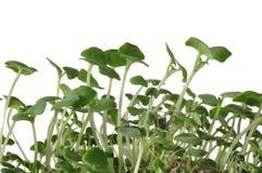 Sprouts de Chia Imagem de Stock