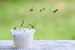 Sprouts de feijão Fotografia de Stock Royalty Free