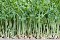 Sprouts de feijão Imagem de Stock Royalty Free