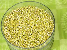 Sprouts de feijão de Mung em um fabricante do Sprout Imagem de Stock