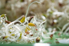 Sprouts dish. Linseed sprouts in macro mode Stock Photos
