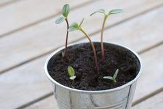 Sprouts do girassol em um potenciômetro Fotos de Stock Royalty Free