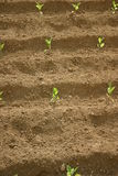 Sprouts do jardim Imagens de Stock