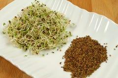 Sprouts e sementes de alfalfa Fotos de Stock Royalty Free