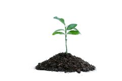 Sprouts in the Earth. Sprouts of unknown plant in the earth, isolated on white Stock Photography