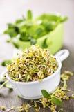 Sprouts em uns copos Foto de Stock Royalty Free