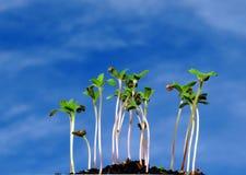 Sprouts emergentes Fotos de Stock