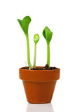Sprouts in a flowerpot Royalty Free Stock Images