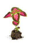 Sprouts of flowers(Coleus Lour) Stock Photography