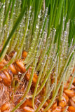 Sprouts of grain. Germinating grain by macro with roots and dew Royalty Free Stock Photos