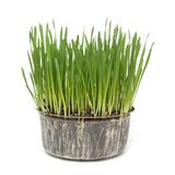 Sprouts of grass Royalty Free Stock Images