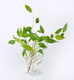 Sprouts of green ficus tree Stock Photos