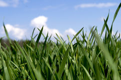 Sprouts of green grass on a background of blue sky royalty free stock images