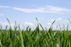 Sprouts of green grass on a background of blue sky royalty free stock photography