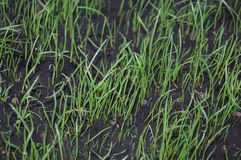 Sprouts of green grass. Young sprouts of green grass Stock Images