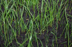 Sprouts of green grass. Young sprouts of green grass Royalty Free Stock Photography