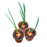 Sprouts of green onion in cardboard pots isolated on white background. Stock Photos