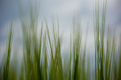 Sprouts of green wheat on the field against Royalty Free Stock Photography