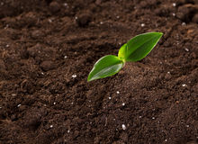 Sprouts in ground. Green young sprouts growing in good brown soil. New life concept stock photo
