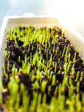Sprouts growing in pot with turf at sunny day