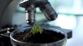 Sprouts growth on Petri dish, agronomist breeding new varieties of cereals royalty free stock image