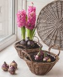 Sprouts hyacinths in a basket.Window gardening Stock Photo