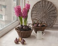 Sprouts hyacinths in a basket. Window gardening Royalty Free Stock Image