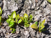 Sprouts of leaves. On the bark of tree Royalty Free Stock Images