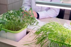 Sprouts of lentils and wheat on the table of a laboratory assistant. Hydroponics. The method of growing plants in water without royalty free stock images